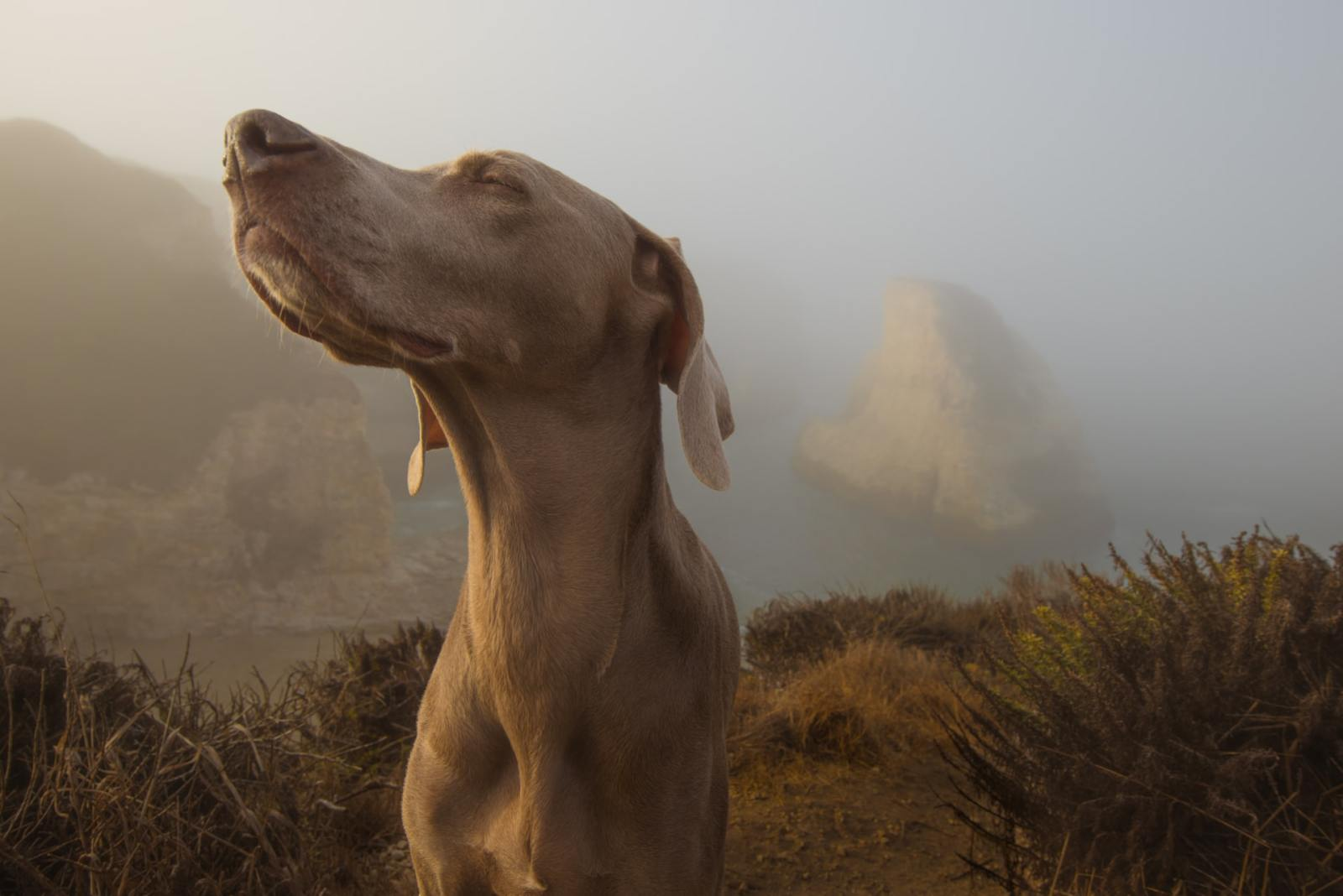 A hound dog sniffing the air for a scent